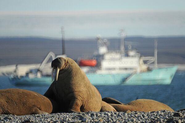 Уголовное дело возбуждено в связи с массовым забоем моржей на Чукотке. - Sputnik Абхазия