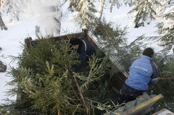 Заготовка новогодних елок. Архивное фото. - Sputnik Абхазия