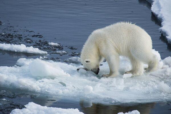 Арктическая экспедиция Кара-зима 2015. Белый медведь. Архивное фото - Sputnik Абхазия