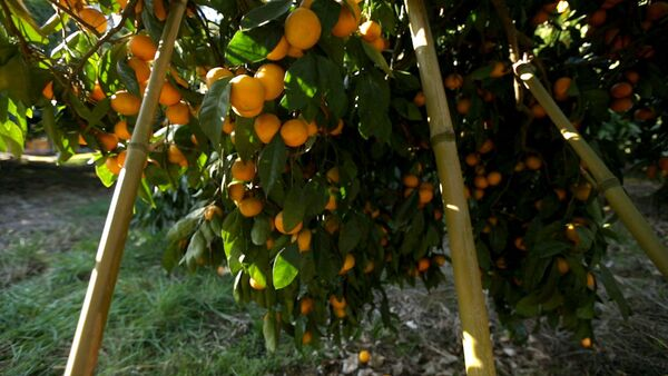 От мандаринового дерева до прилавка: как выращивают самый новогодний фрукт - Sputnik Абхазия