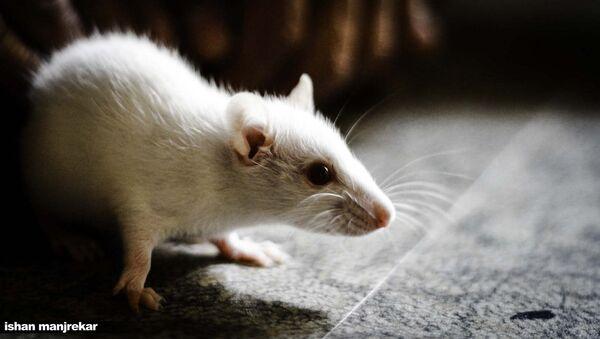Белая мышь. Архивное фото. - Sputnik Абхазия