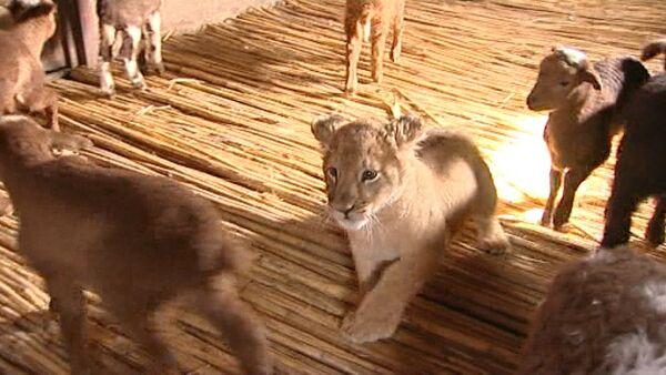 Львица среди ягнят: шестимесячная хищница Маша подружилась с отарой овец - Sputnik Абхазия