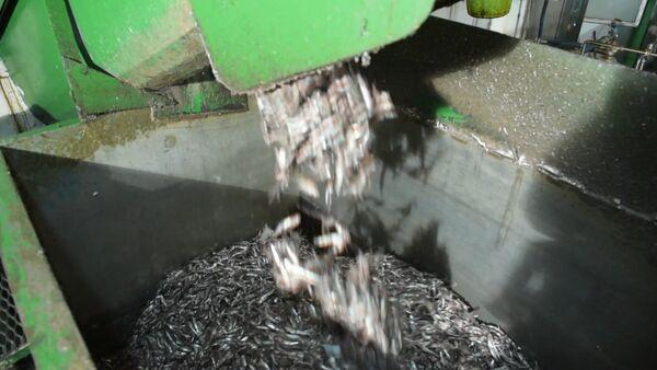 Экскурсия на сухумский рыбокомбинат: этапы переработки хамсы - Sputnik Абхазия