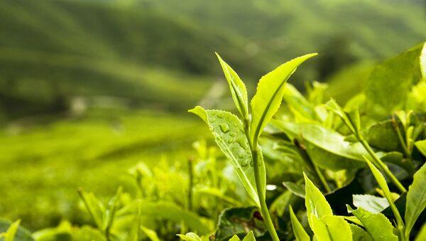 Чайная плантация. Архивное фото. - Sputnik Абхазия
