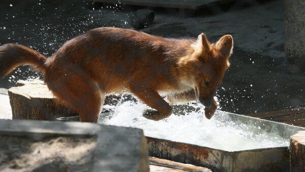 Красный волк. - Sputnik Абхазия
