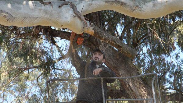 Специалисты Зеленого хозяйства приступили к обрезке эвкалиптов в Сухуме - Sputnik Абхазия