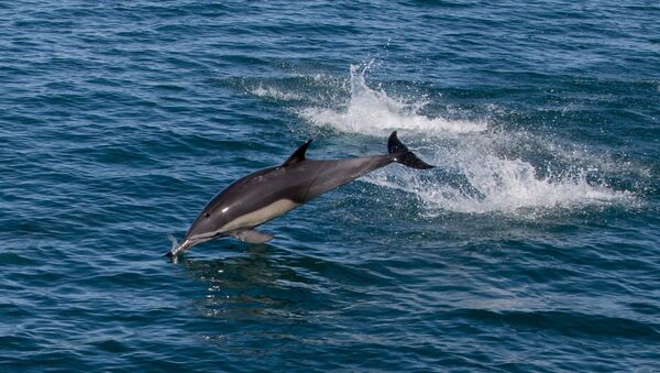 Дельфин в море. Архивное фото. - Sputnik Абхазия