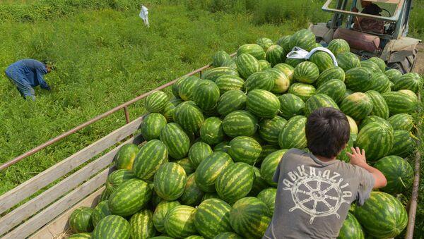 Сбор арбузов в селе Адзюбжа - Sputnik Абхазия