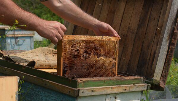 Сбор рамок с запечатанным зрелым мёдом на пасеке в Абхазии. - Sputnik Аҧсны