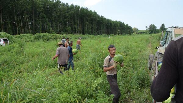 В селе Адзюбжа начался массовый сбор арбузов - Sputnik Абхазия