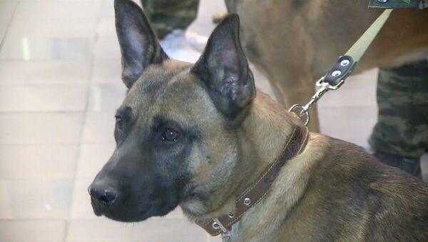 Трех уникальных служебных собак-клонов впервые привезли в Россию - Sputnik Абхазия