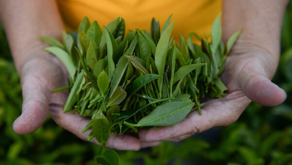 Производство чая - Sputnik Абхазия
