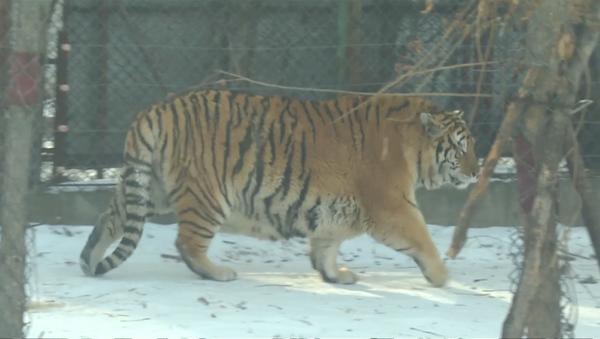 Видео с толстыми тиграми из китайского зоопарка появилось в Сети - Sputnik Абхазия