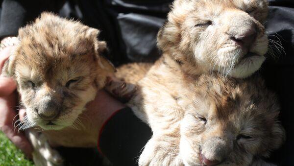 Новорожденные львята. Архивное фото - Sputnik Абхазия