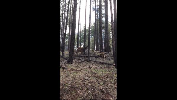 лосиха спасла своего детеныша от медведя - Sputnik Абхазия