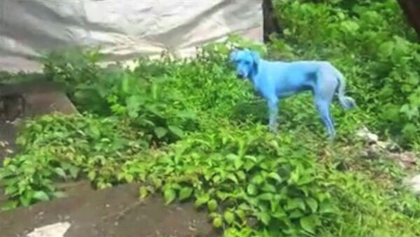 На улицах Мумбая появились голубые собаки - Sputnik Абхазия