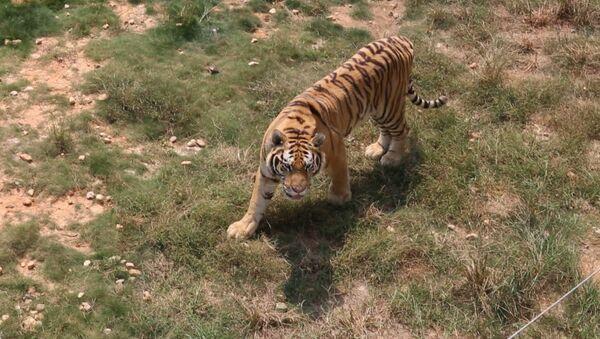 Тигриная ферма в Китае - Sputnik Абхазия