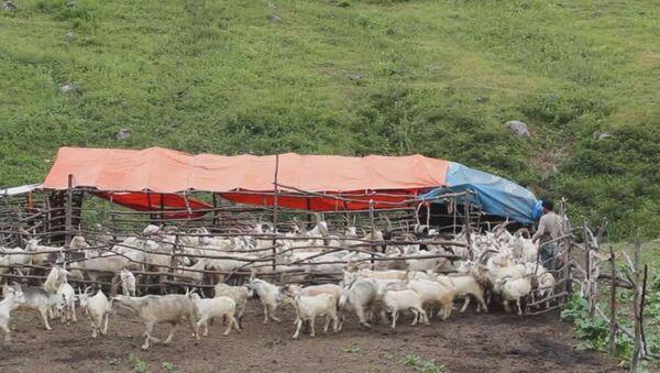 Сырные кольца, молоко ведрами: чем живут пастухи в горах Абхазии - Sputnik Абхазия