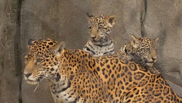 Детеныши ягуара в зоопарке Хьюстона - Sputnik Абхазия
