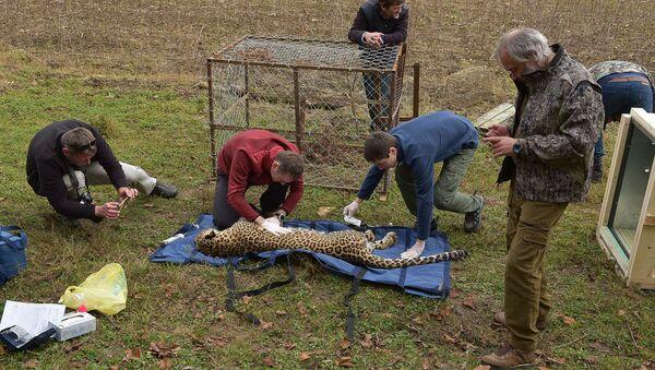 Специалисты Центра разведения и реабилитации переднеазиатского леопарда в Сочи приехали в село Лыхны - Sputnik Абхазия