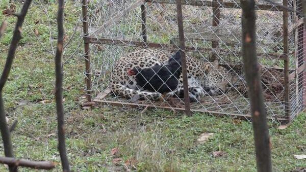 Позарился на курицу: как поймали и эвакуировали леопарда из села Лыхны - Sputnik Абхазия
