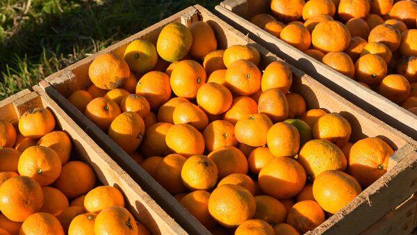 Сбор урожая мандаринов в Гулрыпше - Sputnik Аҧсны