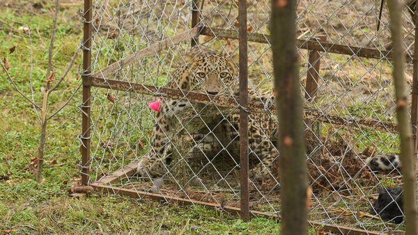 Леопард в селе Лыхны - Sputnik Абхазия