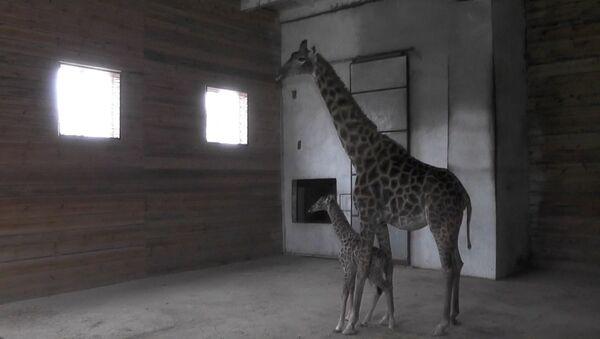 Новорожденный жираф - Sputnik Абхазия