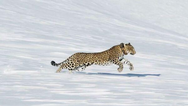 Самку переднеазиатского леопарда по кличке Виктория выпустили назад в дикую природу 28 декабря на гребень горы Ацархва - Sputnik Абхазия