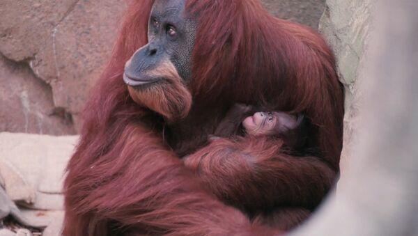 Орангутана Эмму с детенышем впервые показали публике в Честерском зоопарке - Sputnik Абхазия