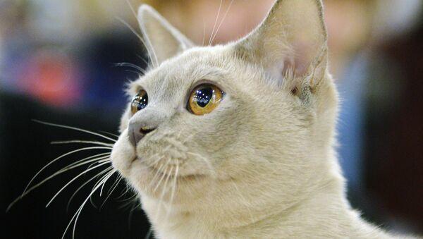 XIII Международная выставка кошек Гран-при Royal Canin 2014 - Sputnik Аҧсны