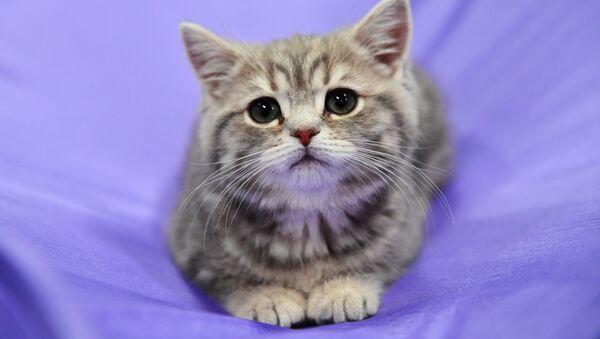 Кошка породы британская на выставке кошек Зимний кубок Кот-Инфо в Москве - Sputnik Абхазия