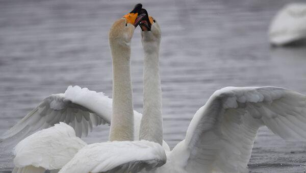 Лебеди-кликуны на Лебедином озере на территории государственного природного комплексного заказника Лебединый в Алтайском крае - Sputnik Абхазия