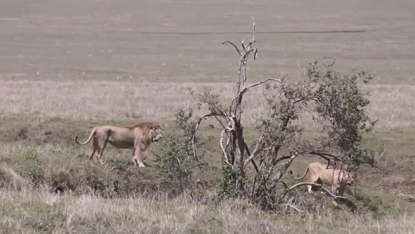 Хитрый прием: как львицы используют львов в качестве приманки - Sputnik Абхазия