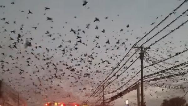Нашествие по Хичкоку: тысячи птиц кружат над городом - Sputnik Абхазия