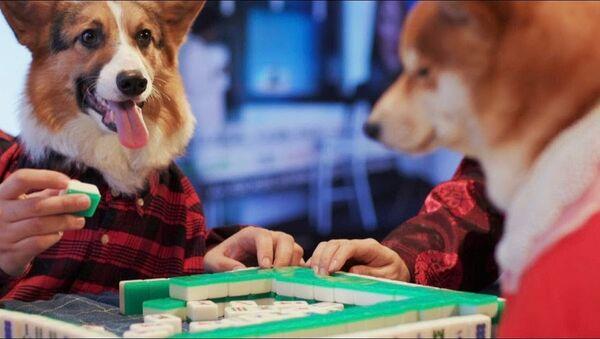Собачья семья готовится к Китайскому новому году - Sputnik Абхазия