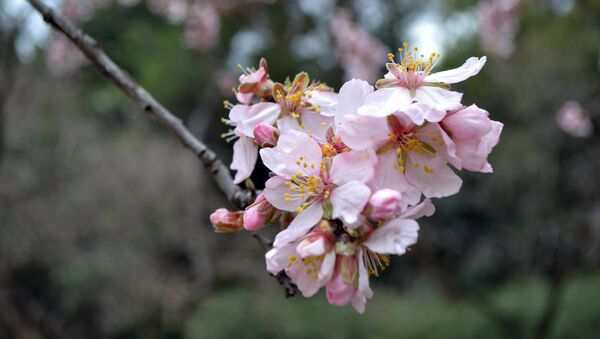 Цветущий миндаль в мадридском парке Quinta de los Molinos - Sputnik Аҧсны