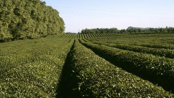Чайные плантации - Sputnik Абхазия
