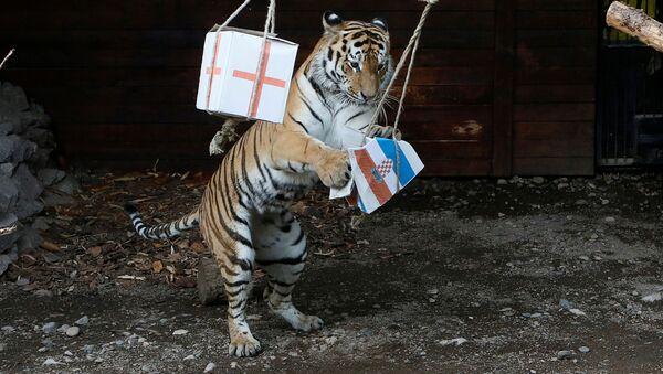 Амурский тигр Бартек во время предсказания результата матча между сборными Хорватии и Англии - Sputnik Абхазия