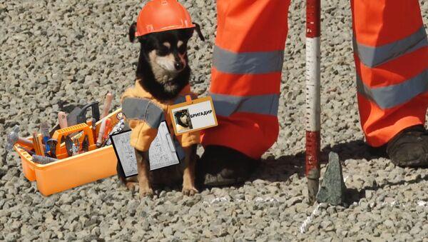 Собака-бригадир уже 8 лет следит за ремонтом дорог - Sputnik Абхазия