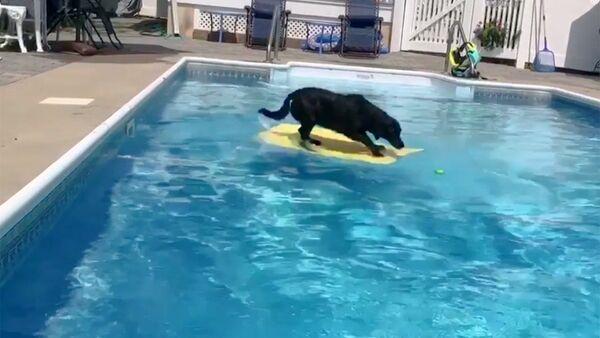 Как выйти сухим из воды: пес прокатился на доске, чтобы достать мячик - Sputnik Абхазия