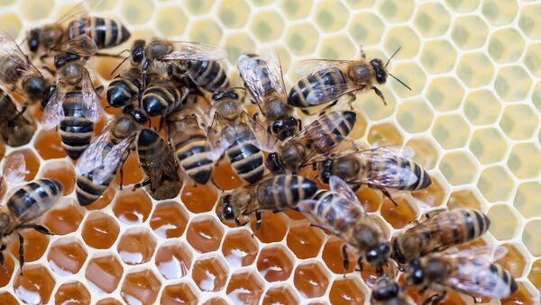 Пчёлы на сотах - Sputnik Абхазия