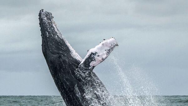 Горбатый кит в в колумбийском заливе Малага, входящим в национальный природный парк Урамба - залив Малага  - Sputnik Абхазия