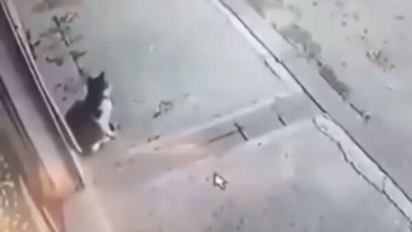 Кот – костолом: пушистый агрессор покалечил прохожего в Дагестане - Sputnik Абхазия