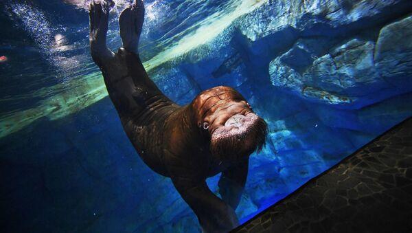 Морж Миша в Приморском океанариуме на острове Русский во Владивостоке - Sputnik Абхазия