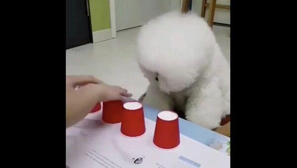 Собака угадывает правильный стакан - Sputnik Абхазия