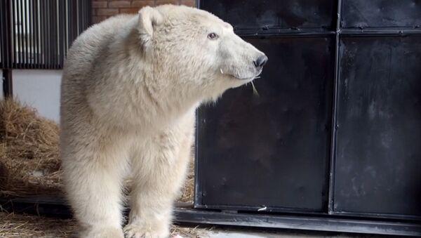 Спасение белого медведя - Sputnik Абхазия