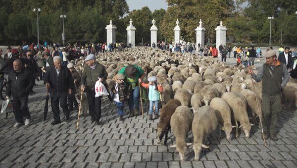 Тысячи овец и баранов прошли по центру Мадрида - Sputnik Абхазия
