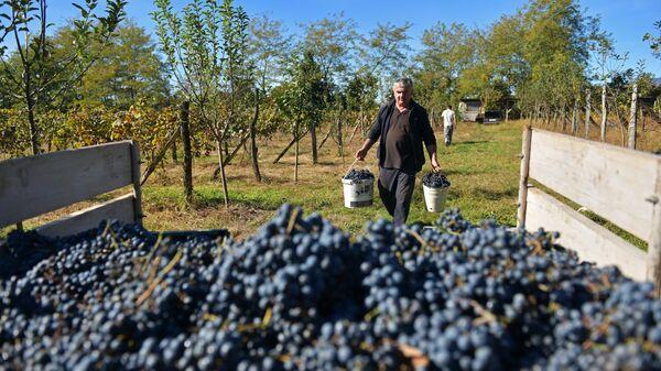 Сбор винограда в Абхазии - Sputnik Аҧсны