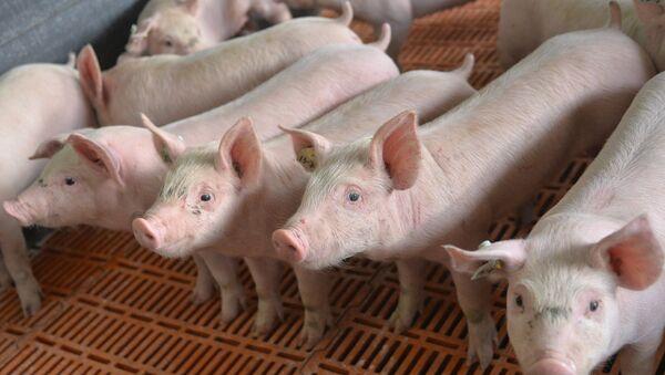 Свиньи в стойле. Архивное фото - Sputnik Абхазия
